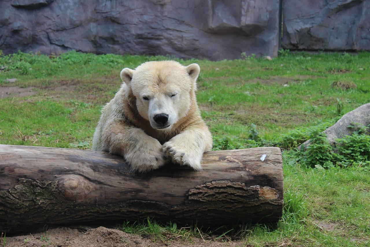 Berlijnse ijsbeer blijkt product van incest te zijn